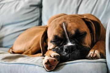 brown dog sleeping on grey couch